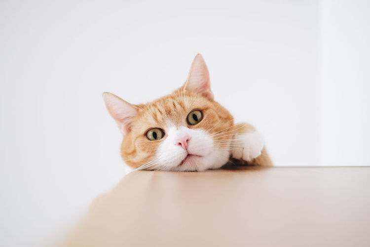 Close-up portrait of cat against white background