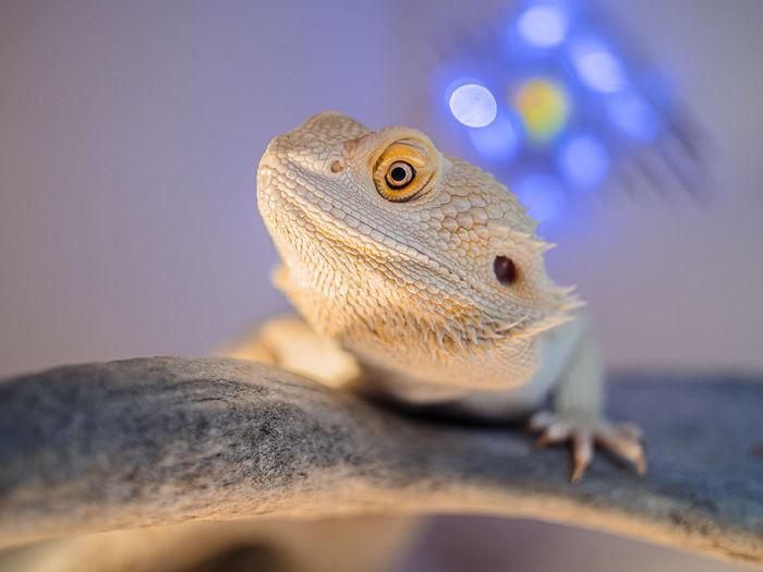 Close-up of a lizard looking away