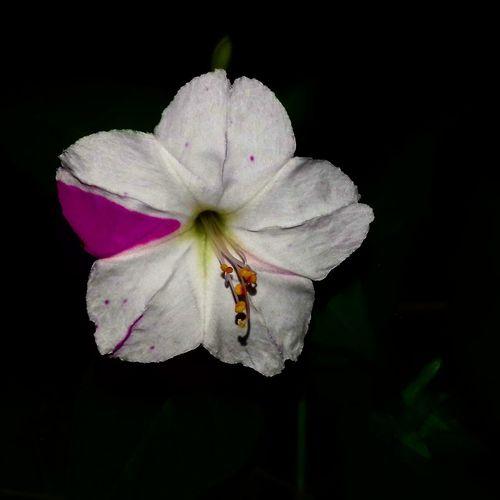 लंकेश्वर फूल Flower Head Black Background Flower Petal Close-up Animal Themes Plant