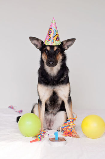 Portrait of dog wearing part hat against white background