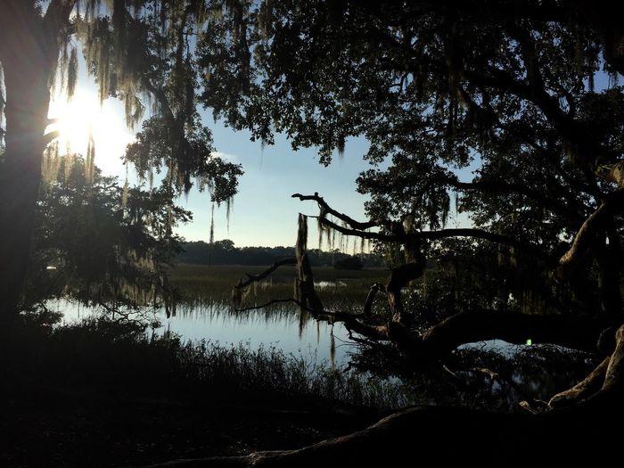 Charleston, SC Tree Nature Spanish Moss Peaceful Outdoors Boonehallplantation