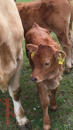 ein frisches Kuhkind auf der Weide. 💕💗 Monique52 Kälbchen Kuhkind Kühe Kühe Auf Der Weide Weide Hochrhein Südschwarzwald Animal Themes Cow Young Animal Farm Animal
