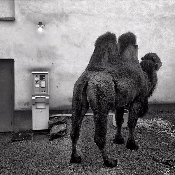 Camel Mölndal Sweden