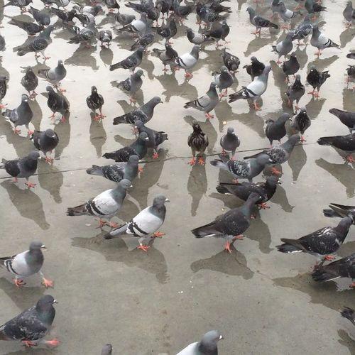 Yuruyun askerlerim... Pigeon Guvercin Istanbul Bird