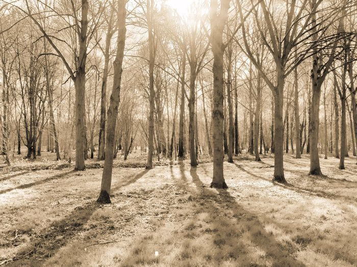 Bare trees at forest