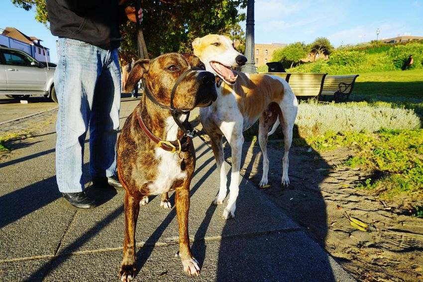 Domestic Animals Shadow Dog Animal Themes Pets Dog Walking
