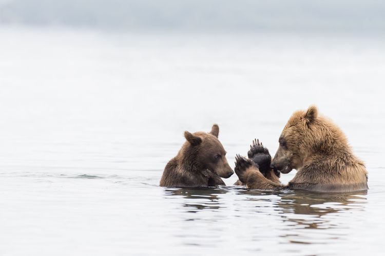 Bears in lake