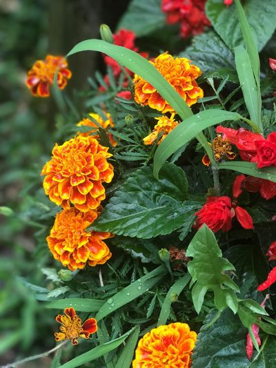 Close-up of orange marigold flowers blooming in park