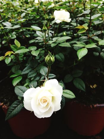 Rose - Flower Beauty In Nature Growth Fragility White Color Blooming Freshness Close-up Plant Petals Leaves Green Potted Plant Floriculture