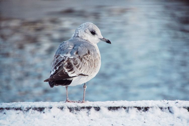 Close-up of seagull perching on snow covered retaining wall during winter