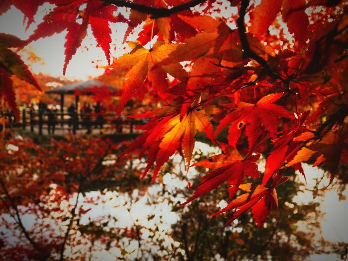 Maple Tree Autumn Maple Leaf Orange Color Red Lateautumn