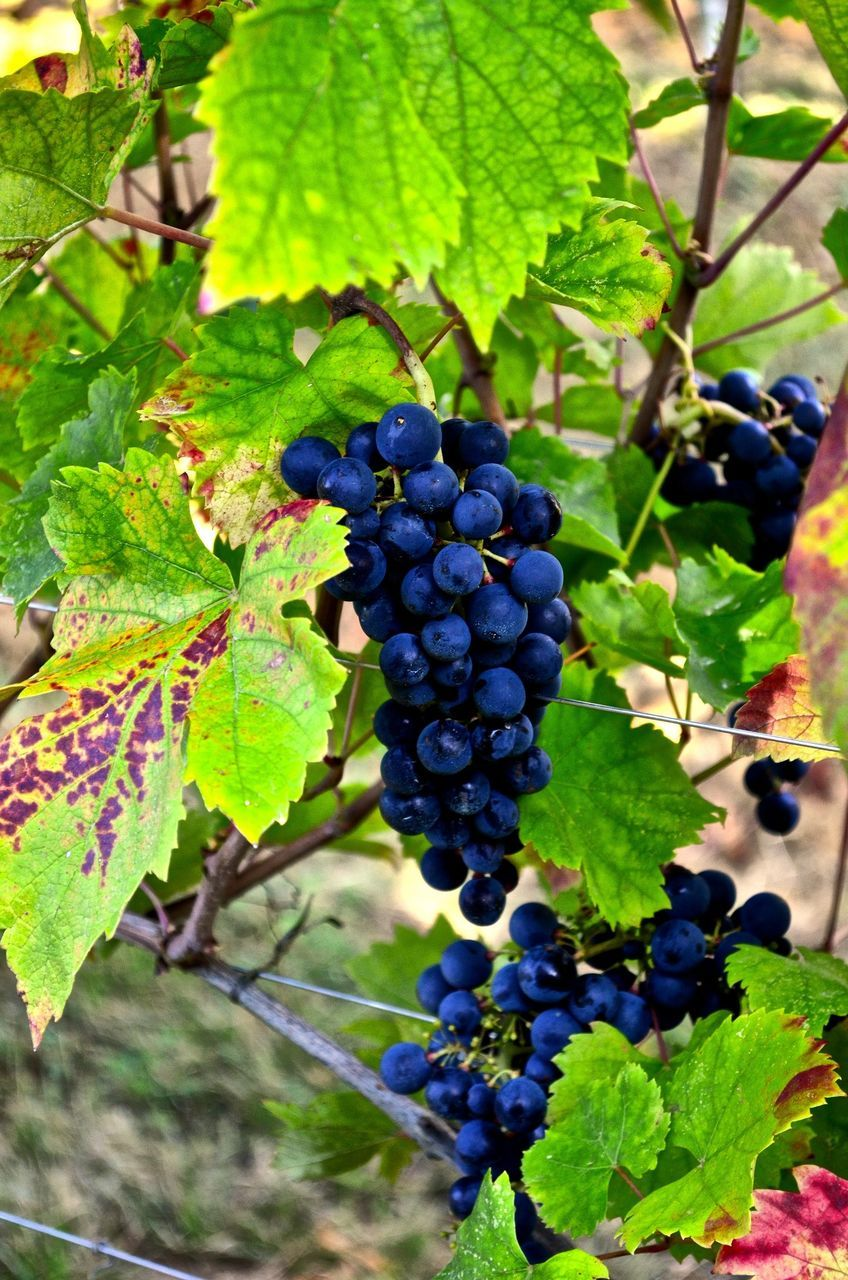 healthy eating, fruit, leaf, plant part, food, food and drink, growth, freshness, plant, grape, vineyard, agriculture, nature, close-up, wellbeing, no people, bunch, day, vine, ripe, outdoors, winemaking, plantation, purple