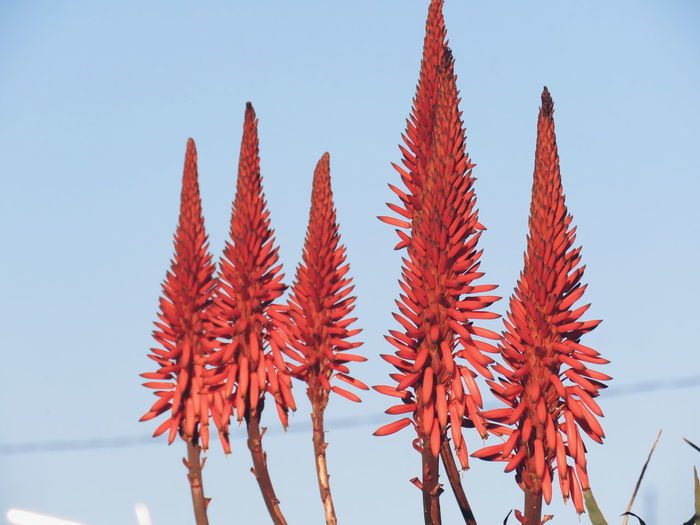 Low angle view of red flowers against clear sky
