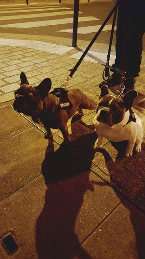 Bouledoguefrancais Frenchbulldog