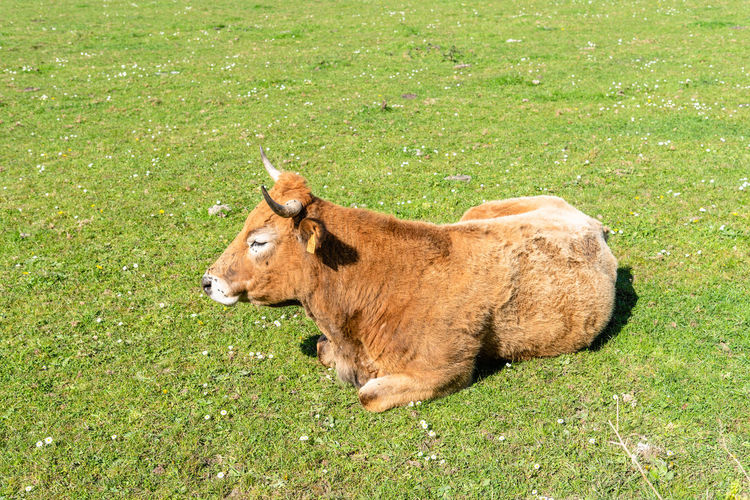 Cow lying on grassy field