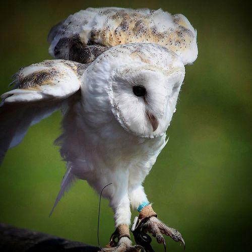 Barnowl Owls