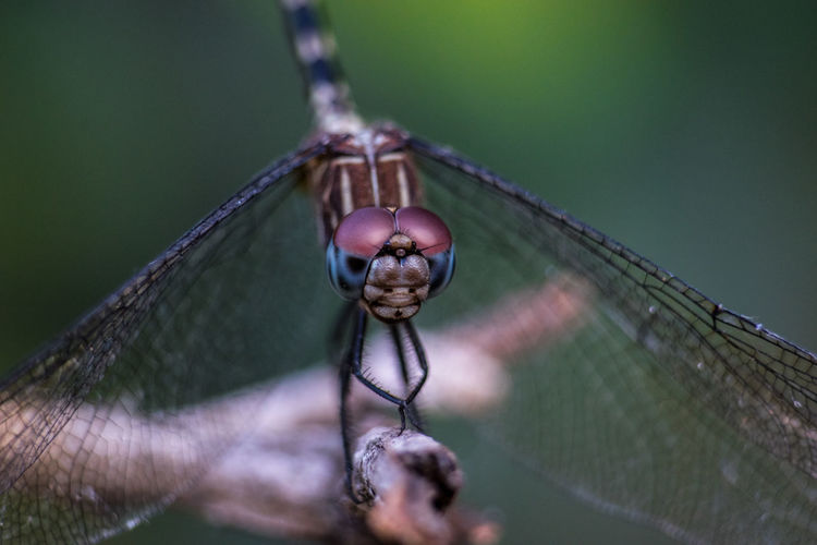 Dragonfly Nature Animal Animal Body Part Animal Head  Animal Themes Animal Wildlife Animal Wing Animals In The Wild Beauty In Nature Bugs Close-up Day Dragonfly Insect Invertebrate Macro Nature Nature_collection No People One Animal Outdoors Plant Plant Part Selective Focus