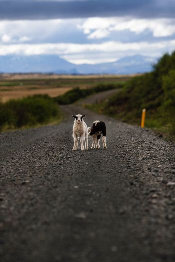 Lambs on road against landscape and sky