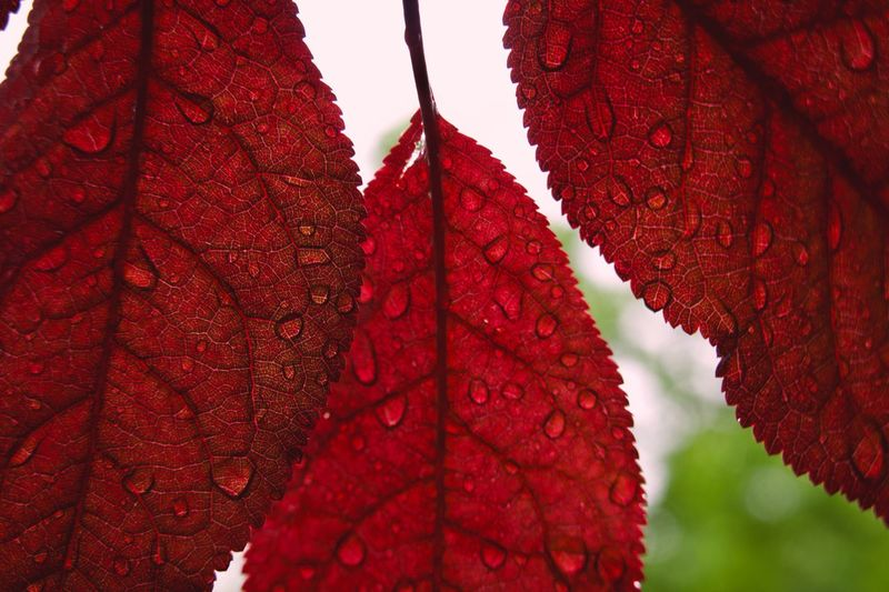 RainDrop Red Hanging No People Leaf Plant Part Close-up Plant Outdoors Focus On Foreground Beauty In Nature Low Angle View Branch Growth Leaf Vein Change Nature Tree Day Pattern