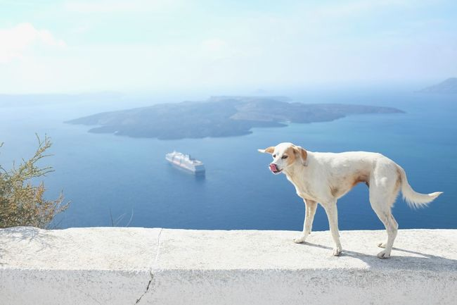 Santorini, Greece Animal Themes Beauty In Nature Day Dog Domestic Animals Island Mammal Nature No People One Animal Outdoors Pets Santorini Scenics Sea Sea And Sky Sky Sun Volcano Water