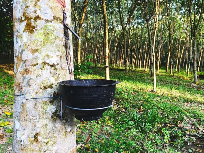 Garden Green Color Green Garden Rubber Plantation Rubber Tree Rubber Tree No People Growth Day Tree Trunk Outdoors Grass Plant Nature