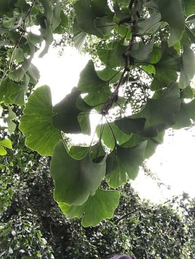 Ginko Biloba Ginko Leaves Leaf Nature Botanical Gardens Hortusbotanicusleiden
