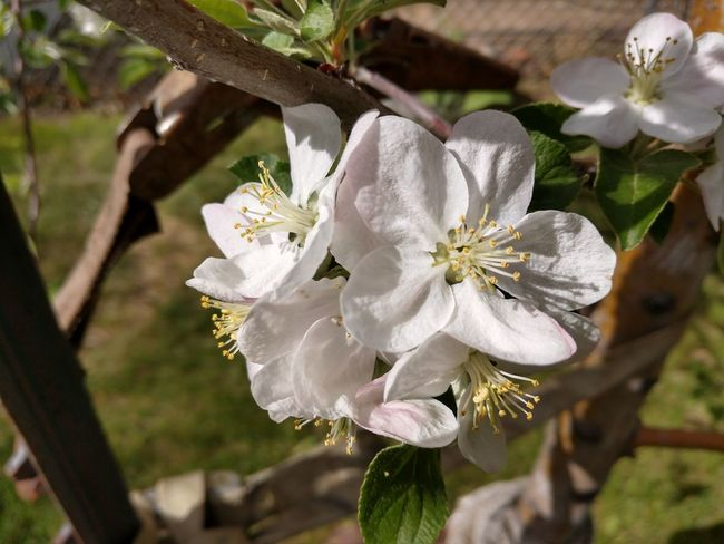 Apple blossoms Flower Head Flower Tree Branch Springtime White Color Close-up Plant Stamen In Bloom Pistil Pollen Apple Blossom Blossom Plant Life Pollination The Great Outdoors - 2018 EyeEm Awards