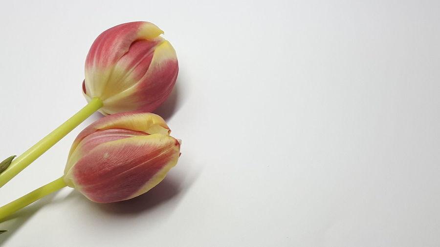 *4 Two Tulip