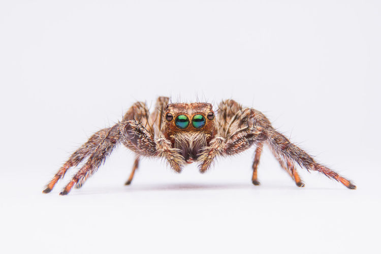 jumping spider isolated on white background. Isolated Spider Animal Animal Body Part Animal Eye Animal Leg Animal Themes Animal Wildlife Animals In The Wild Close-up Insect Isolated White Background Jumping Spider Macro One Animal White White Background