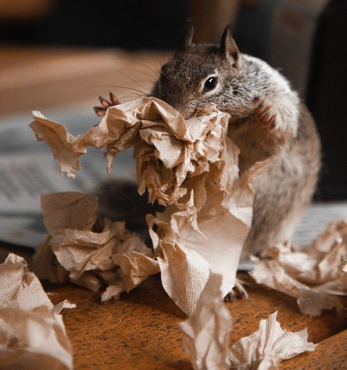 Close-up of squirrel by crumpled tissue paper on table