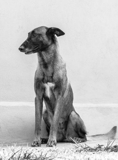 She is just my reflection. Dog Dogs Of EyeEm Canon Domestic Animals Canonphotography Monochrome Pets Malinois Dog Belgian Malinois BelgianShepherd Blackandwhite RebelT6i