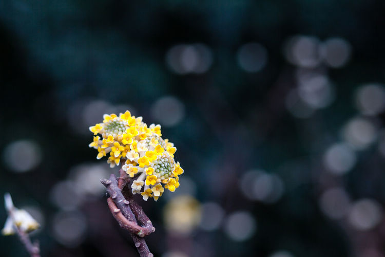 Yellow Paper Bush Flowers Blooming Outdoors