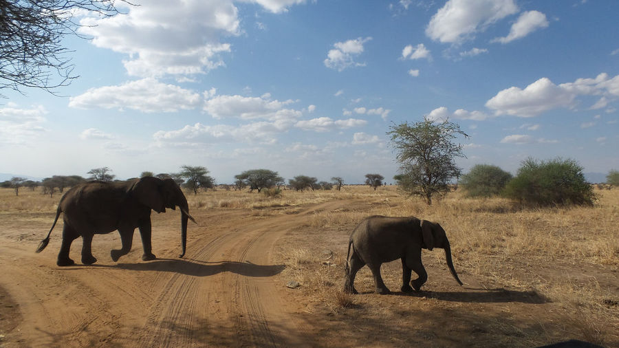 Elephant with calf walking on landscape against sky