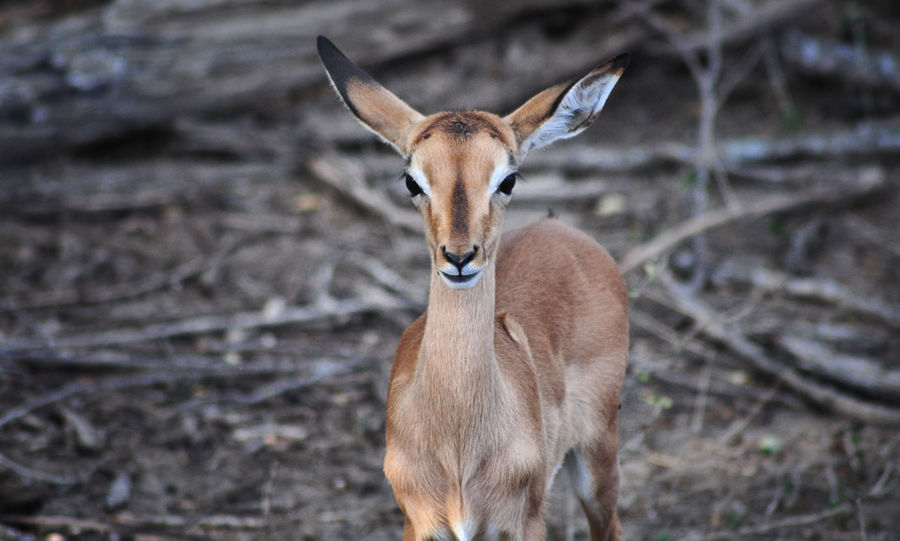 First batch of animals seen during our 2015/2016 safari trip to Kruger Park. Impala Kruger Park South South Africa Animal Themes Animal Wildlife Animals In The Wild Antelope Day Deer Field Focus On Foreground Kruger Looking At Camera Mammal Nature No People One Animal Outdoors Portrait Standing Sunset