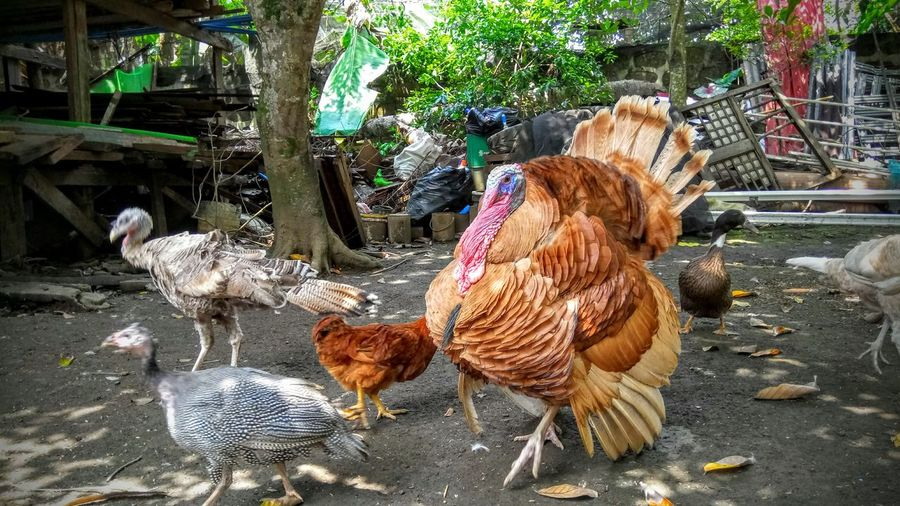 #animal #bird #chicken #eyem #eyembestshot #eyemnaturelover #farm #livestock #Nature  #outdoors #photography #poultry