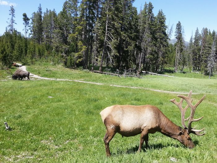 Deer and buffalo grazing in a forest pasture