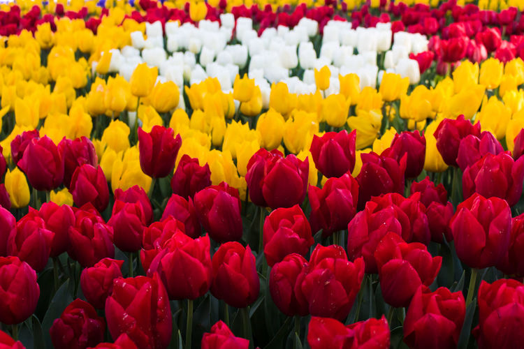 red yellow and white tulips in the park Flowering Plant Flower Beauty In Nature Fragility Vulnerability  Freshness Red Petal Plant Flower Head Yellow Tulip Inflorescence Full Frame Close-up Backgrounds Multi Colored Abundance Growth Day No People Outdoors Flowerbed Springtime
