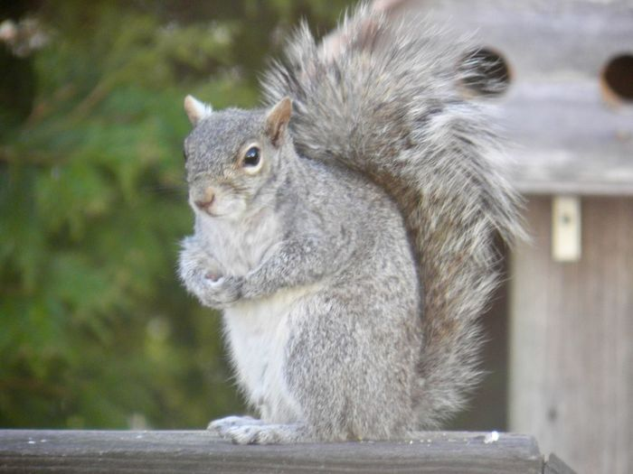 Squirrel perched atop a wooden railing closeup focus on the foreground outdoors animal themes EyeEm nature lover One Animal Animal Wildlife Rodent Close-up No People