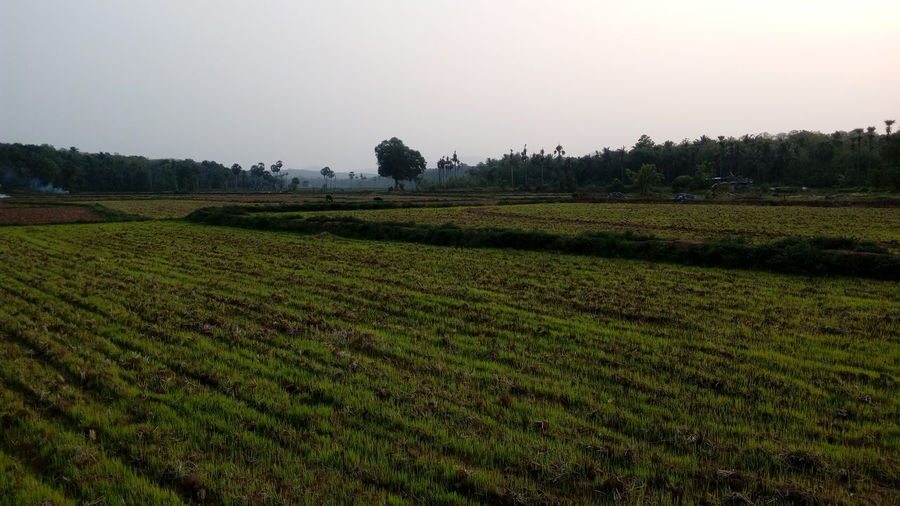 Paddy fields .on my way back to home . Simple Quiet Love Rural Scene Travel Enchanting India EyeEm Selects The Purist (no Edit, No Filter) Mobilephotography Nature uniqueness Outdoors Detail Getting Inspired Happiness Check This Out Minimalism Light And Shadow Sunset Exceptional Photographs Day Tree Agriculture Field Hill Social Issues Crop  Farm Plantation Cultivated Land Plowed Field Rice Paddy