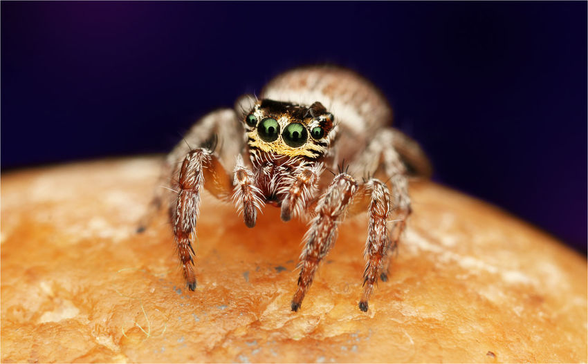 Macro shot of jumping spider on stone