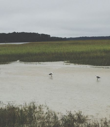 Nature_collection Birds_collection Marshland  Wetlands Seagulls Birdtalk Skidaway Island