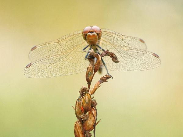 On the Top Libelle Heidelibelle Dragonfly Insect Insects  Insect Photography Insects Collection Makro Makro Photography Makro_collection Macro Macro_collection Macro Photography Macro Beauty Michael Hruschka Insekten Nature Natur Nature_collection Wildlife & Nature Beautiful Nature Animals Tiere Tier EyeEm Nature Lover
