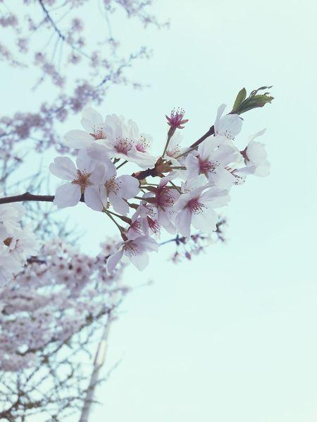 정자 로맨틱 성공적 벚꽃만개