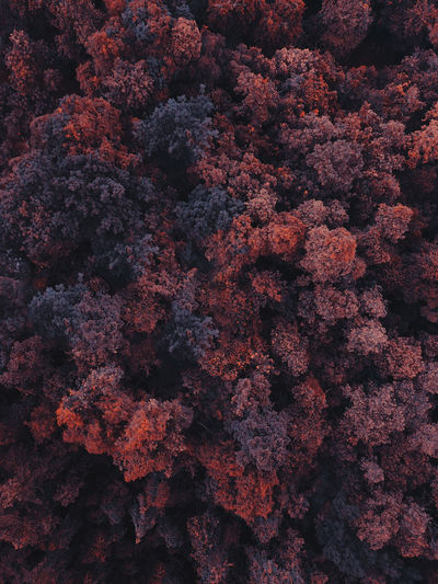 Aerial view of a red forest