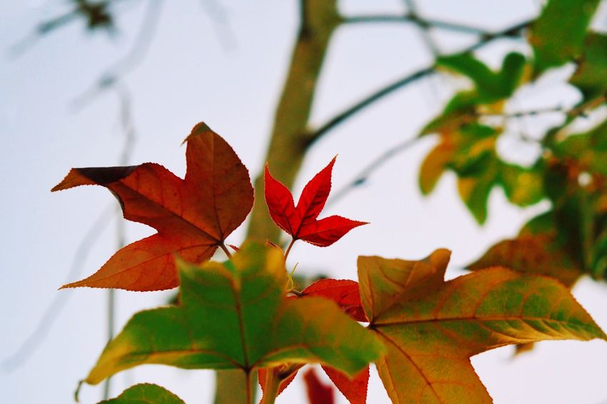 Maple Leaf Leaf Plant Part Autumn Change Maple Leaf Close-up Nature Beauty In Nature Maple Tree Focus On Foreground Leaves No People Red Orange Color Branch Growth Tree Plant Day Outdoors