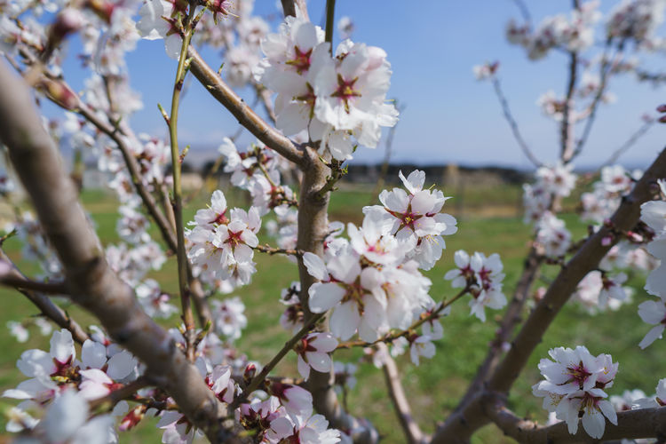 Flowering Plant Flower Plant Fragility Vulnerability  Freshness Growth Tree Blossom Beauty In Nature Branch Springtime Petal White Color Nature Cherry Blossom Day Close-up Twig Flower Head No People Cherry Tree Pollen Outdoors Spring