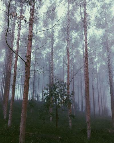 Vsco Vscocam Nature Trees Forest Mist First Eyeem Photo