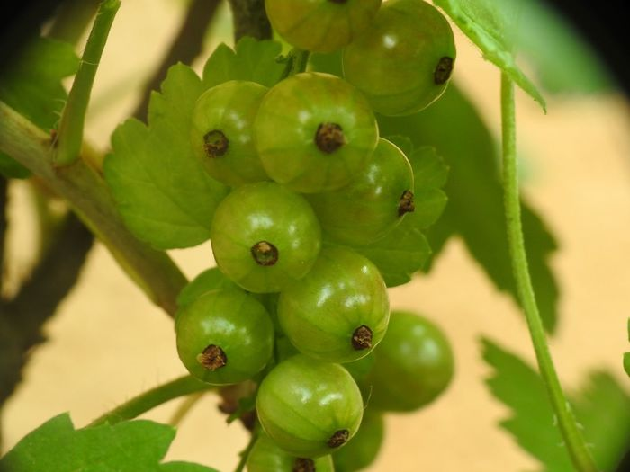 White Currants Currant Little Fruit Springtime Spring Flowers Spring Green Fruit Tree Fruit Leaf Agriculture Close-up Plant Green Color Food And Drink Fruit Tree Cultivated