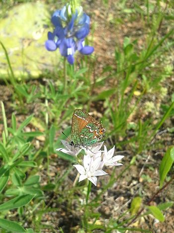 Butterfly Butterfly Collection Colorful Insect Bluebonnet EyeEm Nature Lover Nature_collection