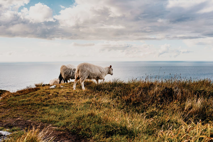 Sheep On Grassy Field With Sea In Background Against Cloudy Sky